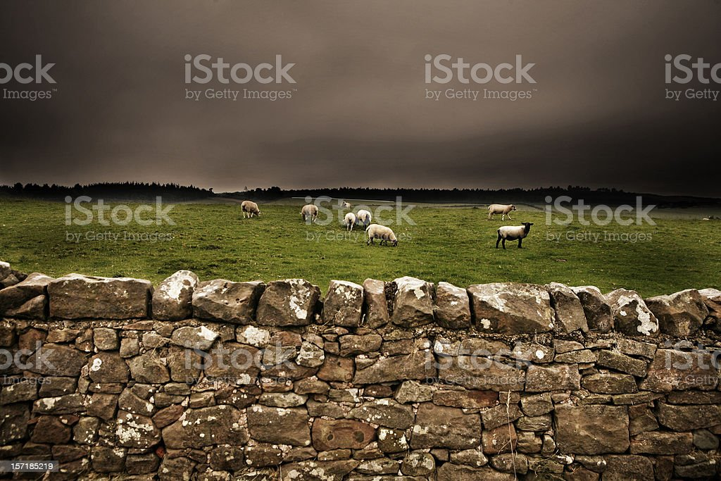 Stone Wall with a Field of Sheep royalty-free stock photo