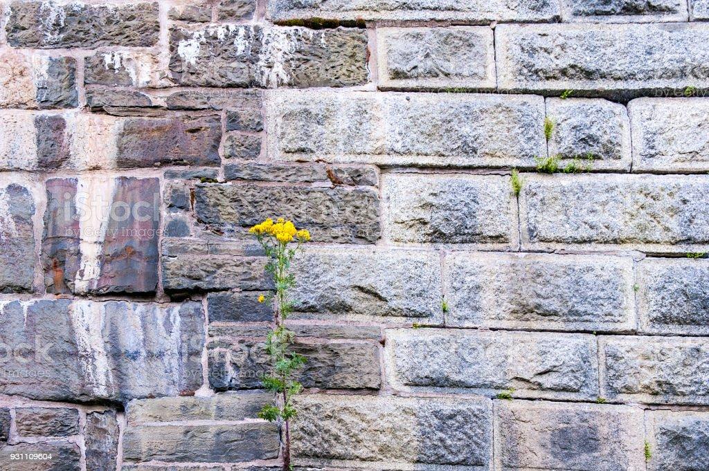 Taş duvar çiçek açan çiçekler - Royalty-free Arka planlar Stok görsel