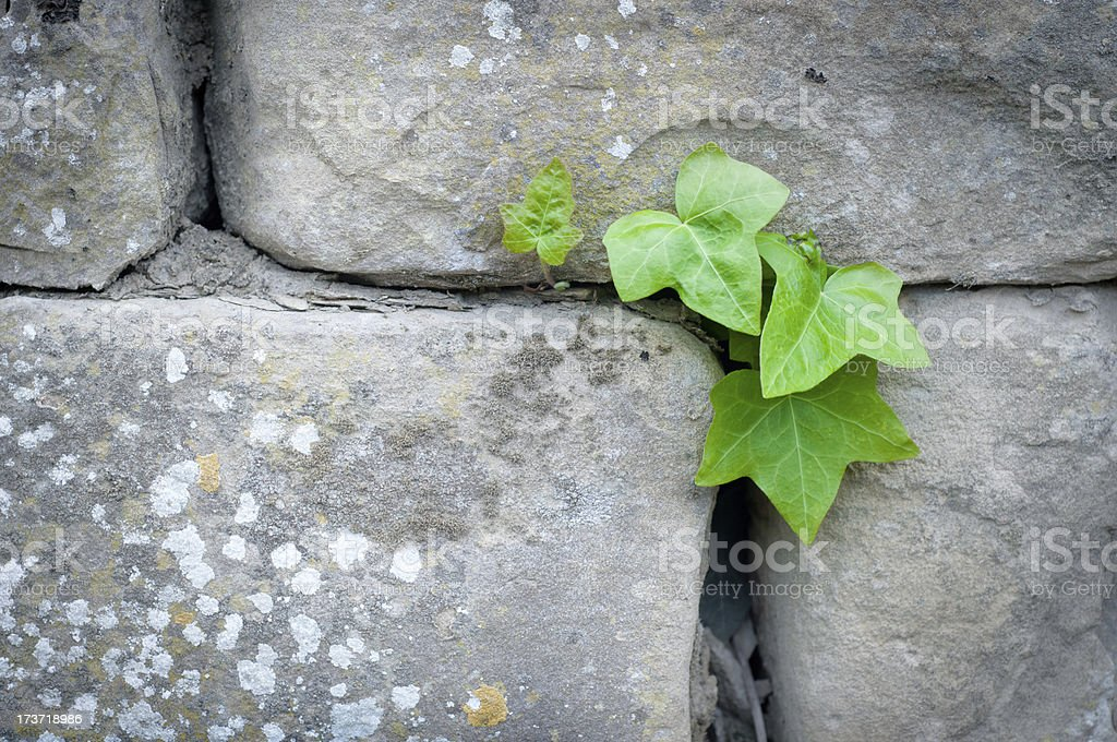 Stone wall with ivy stock photo