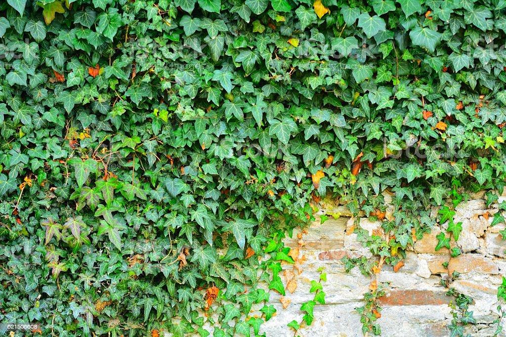 Muro di pietra con Edera foto stock royalty-free