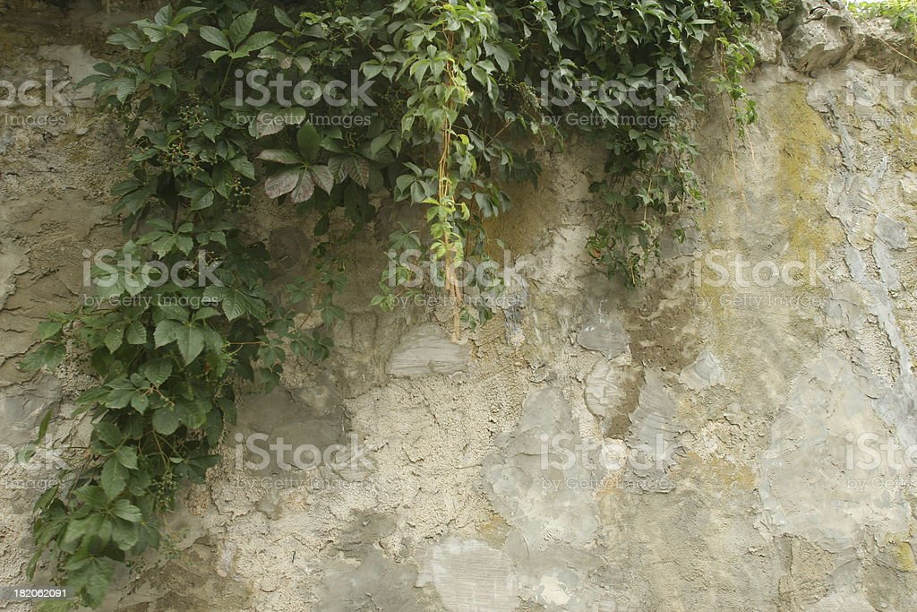 Stone Wall with vines royalty-free stock photo