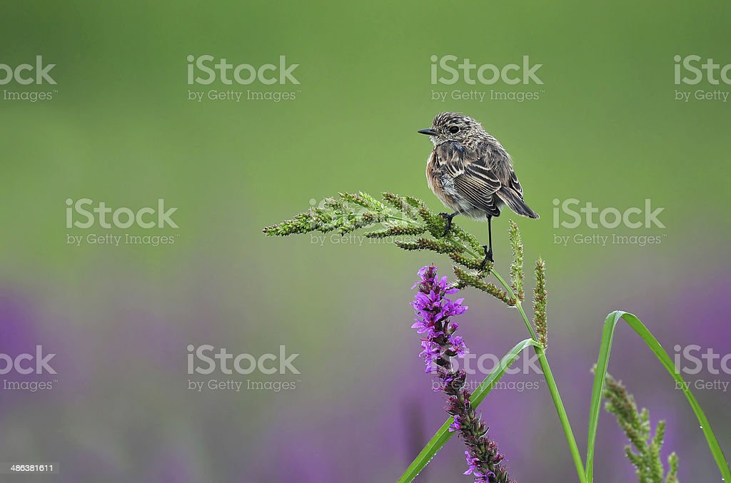 Stonechat on a grass - Royalty-free Animal Stock Photo