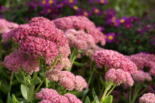 Stonecrop and purple asters.Please see more flower pictures from my Portfolio.Thank you!
