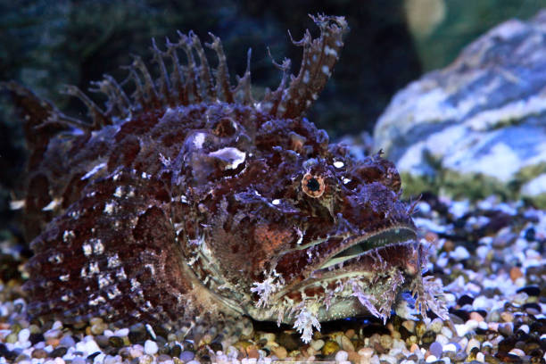 A stonefish (Synanceia verrucosa) in marine aquarium stock photo