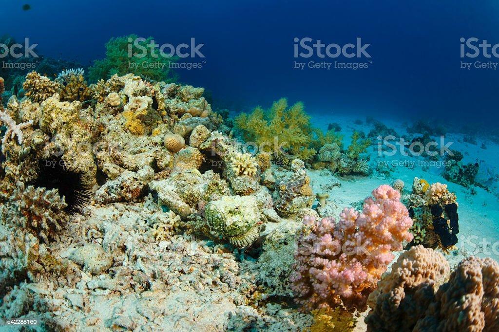 Fotografía de Pez Piedra Vida Arrecife De Coral Bajo El Agua De Mar ...
