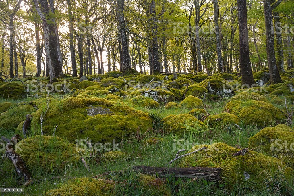 Stones covered with moss in vibrant green forest foto