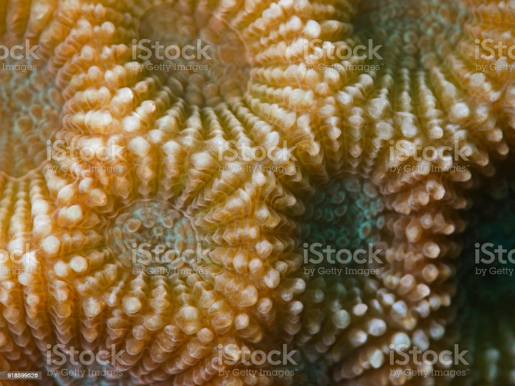 Stony-Coral (Diploastrea heliopora) stock photo