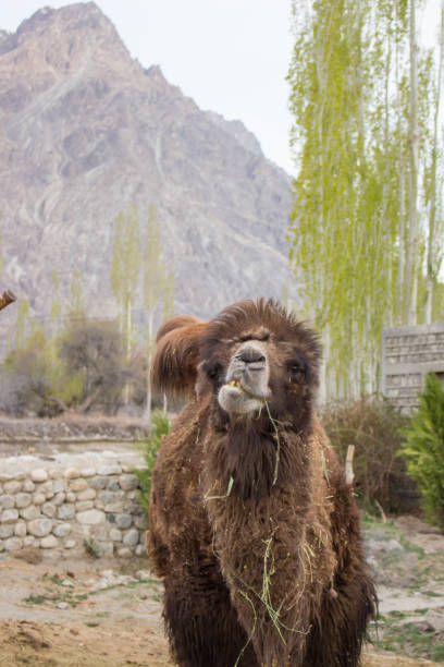 stop motion of camel chewing grass. - stop motion stock photos and pictures