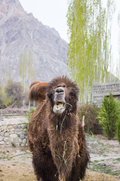 stop motion of camel eating. - stop motion stock photos and pictures