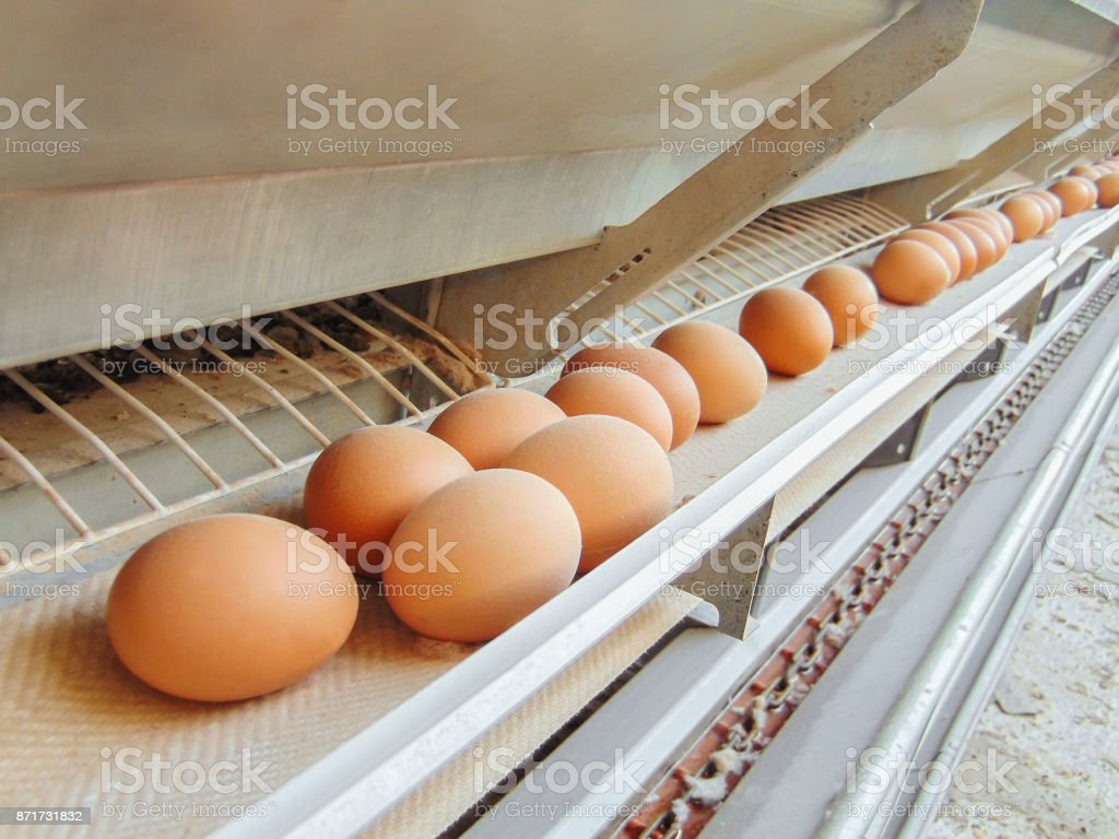 Stopped conveyor production line of chicken eggs of a poultry farm. Limited depth of field. stock photo
