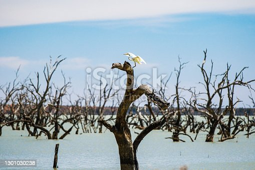 istock Stork bird sitting in a dead tree with clear blue sky background 1301030238