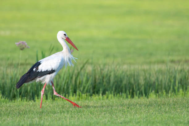 stork bird with distinctive white and black  feathers searching for food in a meadow during summer - bocian zdjęcia i obrazy z banku zdjęć