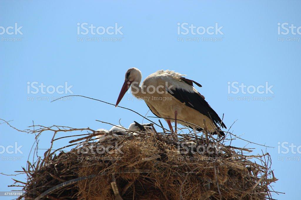 Stork Birds Nest Stock Photo - Download Image Now - iStock