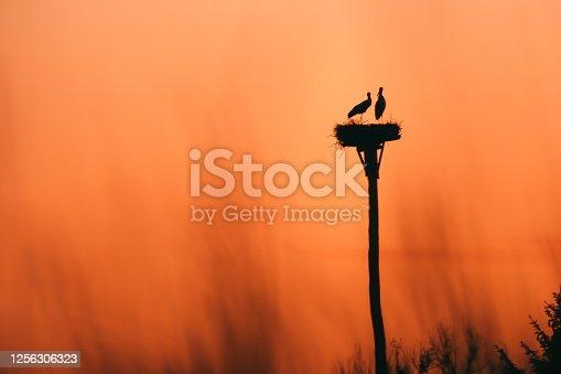 istock Stork couple on Dramatic orange sky in background. 1256306323