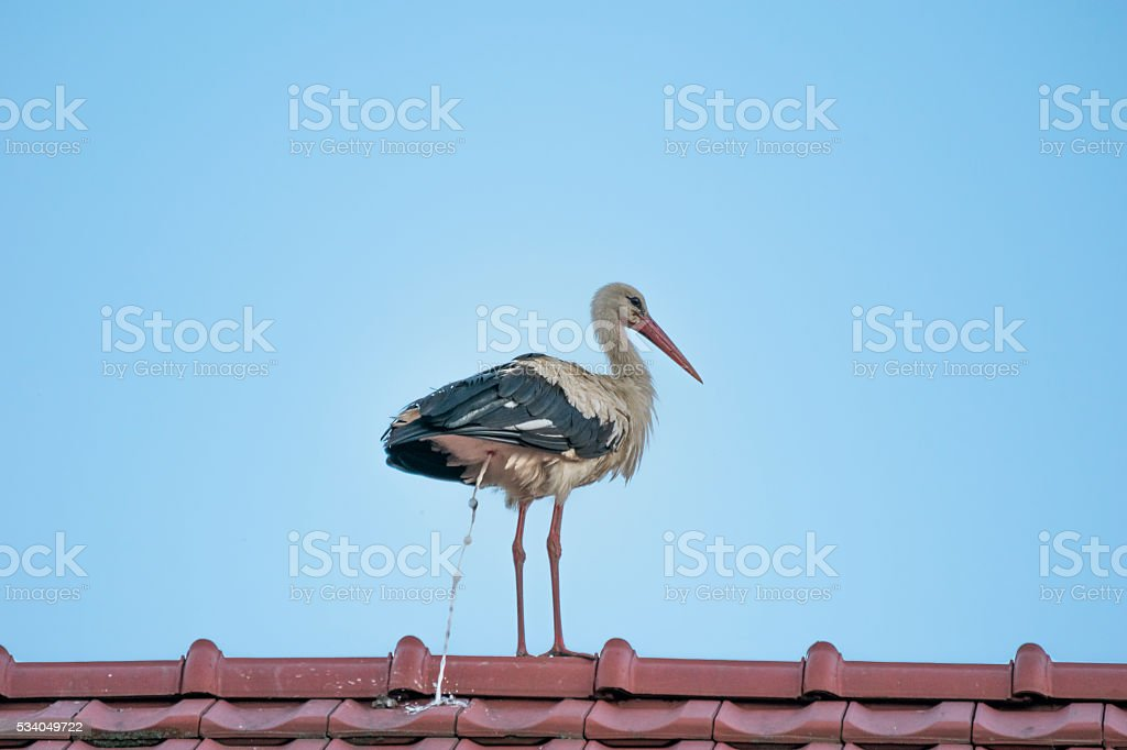 Stork defecating on a house stock photo