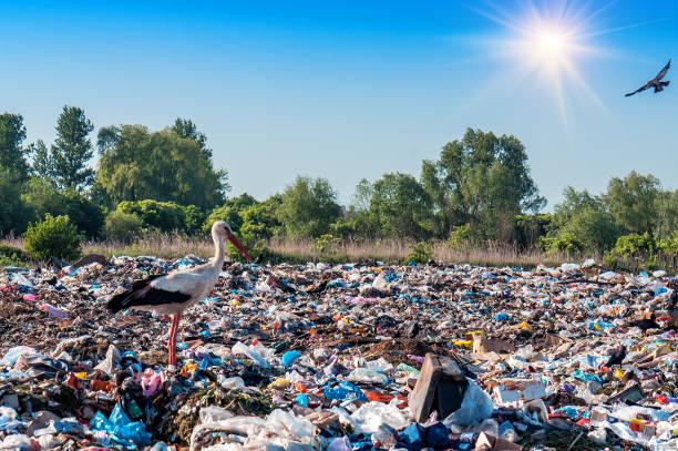 stork in a landfill - bocian zdjęcia i obrazy z banku zdjęć