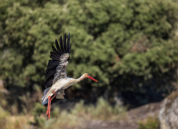 Stork in flight Stork photographed in their natural environment. alas stock pictures, royalty-free photos & images