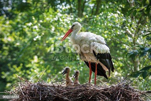 istock Stork in his nest 966516534