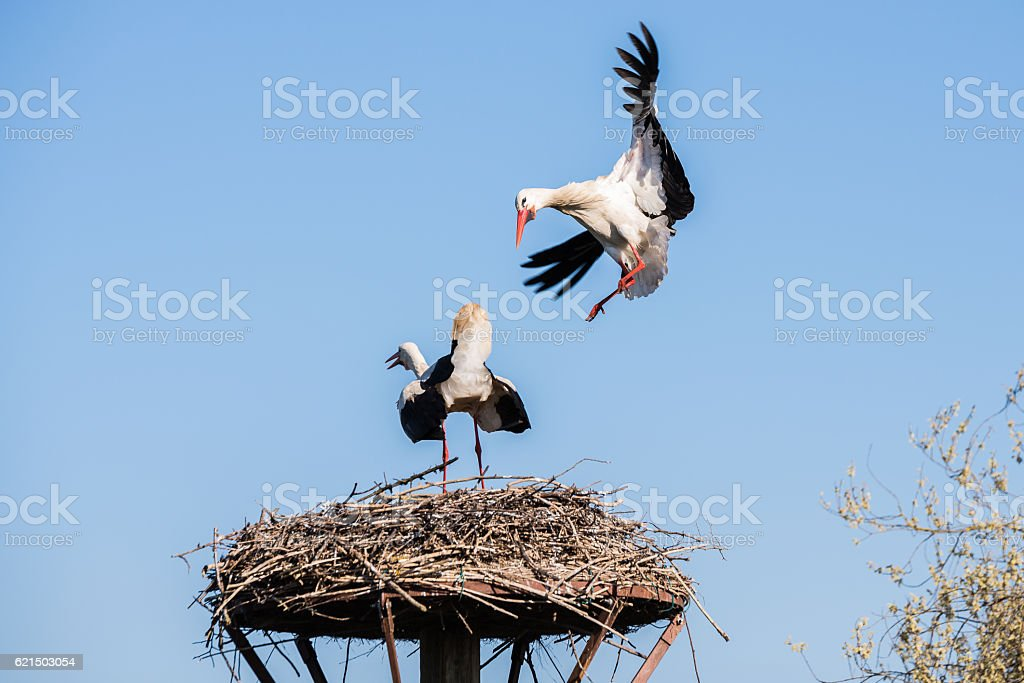 Stork lands on the nest, Salburua park, Alava (Spain) photo libre de droits