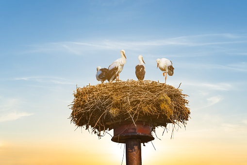 stork nest on a high post on a sunset background