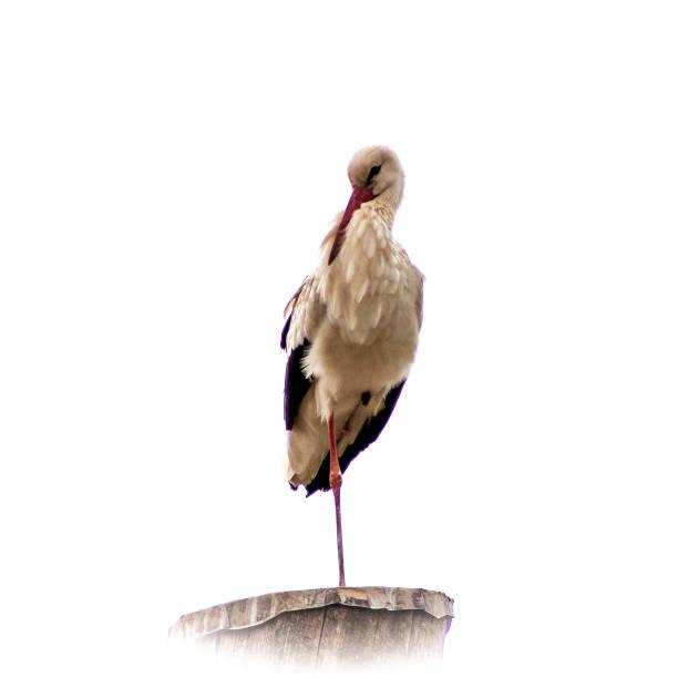 Storch auf Pfahl – Foto