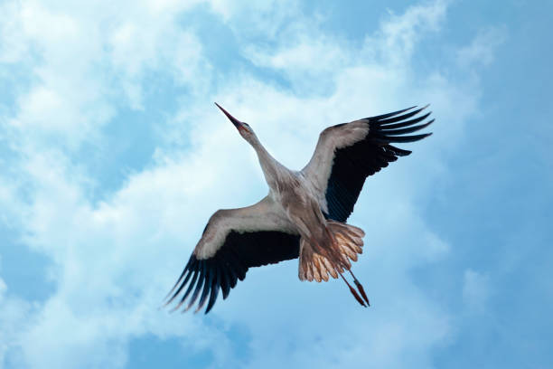 stork seen from below, flying under a blue slightly cloudy sky - bocian zdjęcia i obrazy z banku zdjęć
