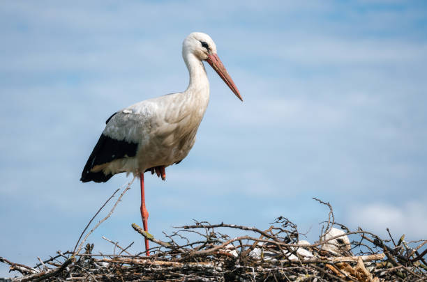 Stork standing in nest with its chicks stock photo