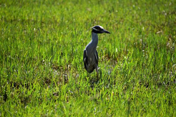Stork walking across grass stock photo