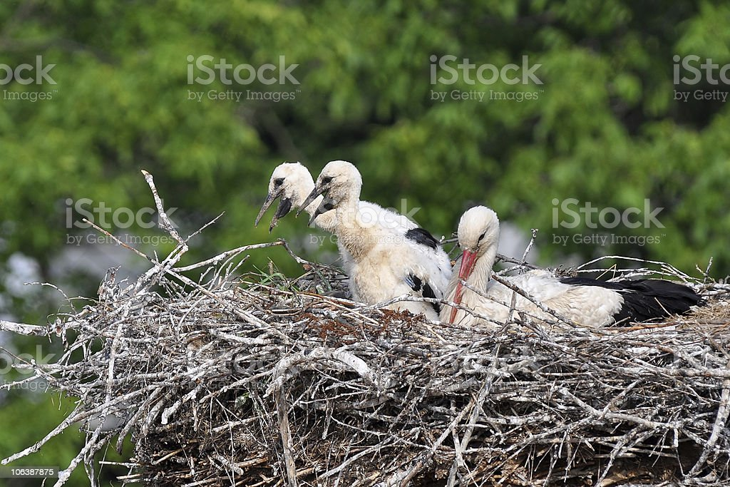 Stork with its baby bird royalty-free stock photo