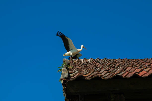 Stork with open wings on the roof of the old building – zdjęcie