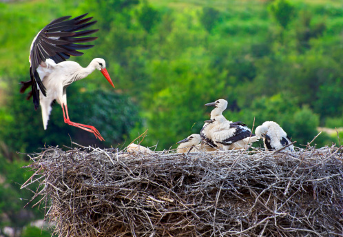 Stork with Young on Nest