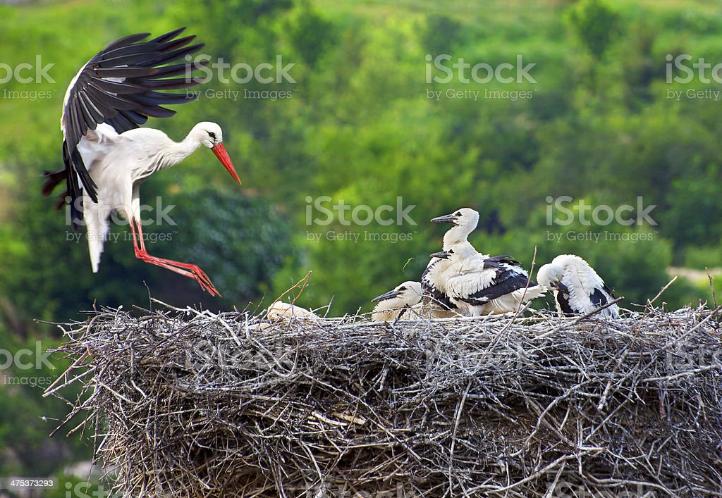 Stork with Young on Nest stock photo