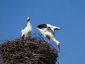 """""""A pair of storks building a nest, XXL. For more storks"""""""