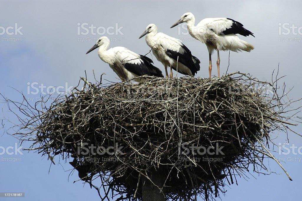 Storks in nest royalty-free stock photo