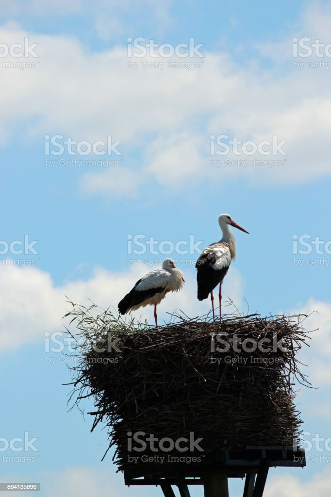 Storks in their nest along River Hollandse ijssel in the Netherlands royalty-free stock photo