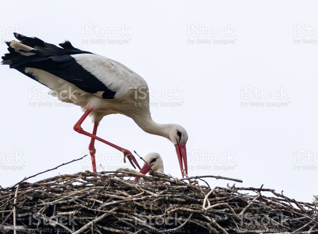 Storks nesting in an electricity mast in Lelystad stock photo