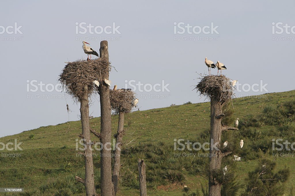 Storks nests in meadow royalty-free stock photo