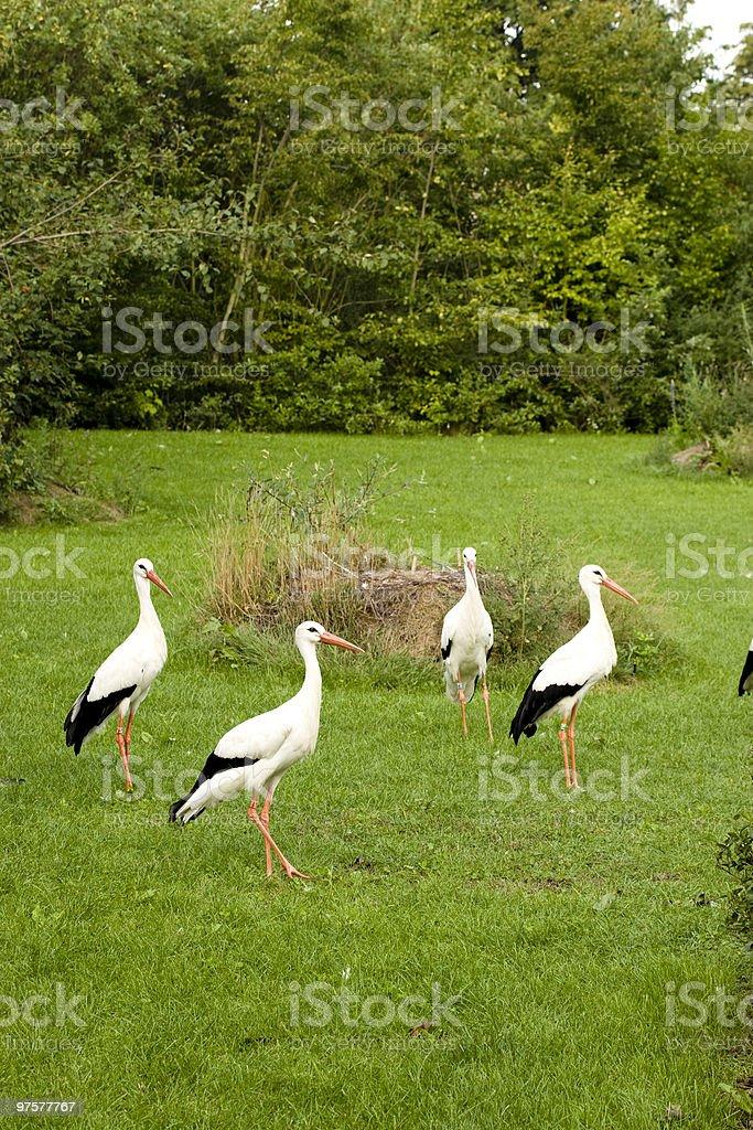 Des Cigognes photo libre de droits