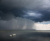Storm appraching - swans on the foreground