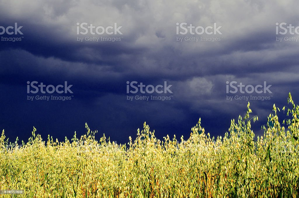 storm begins over a field of oats stock photo