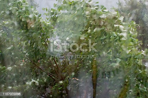 Storm. Birch forest on a rainy day
