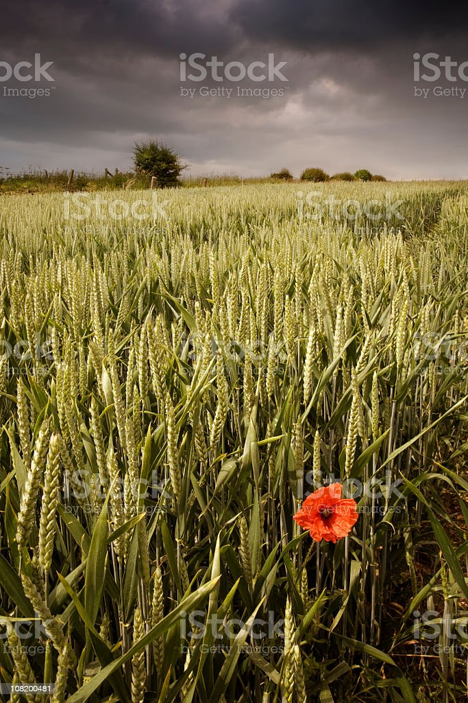 Storm Clouds Above Wheat Field with Lone Poppy Flower royalty-free stock photo