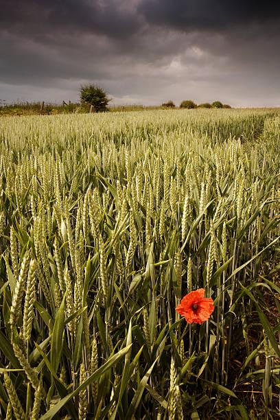 storm nuvens sobre o campo de trigo com flor de papoula solitária - standing out from the crowd (expressão inglesa) - fotografias e filmes do acervo