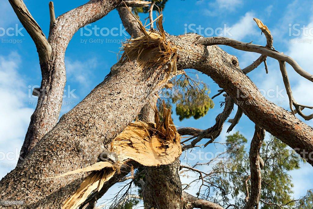 Storm Damage - Broken Maritime Pine Tree stock photo