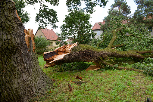 Storm damage - German Oak