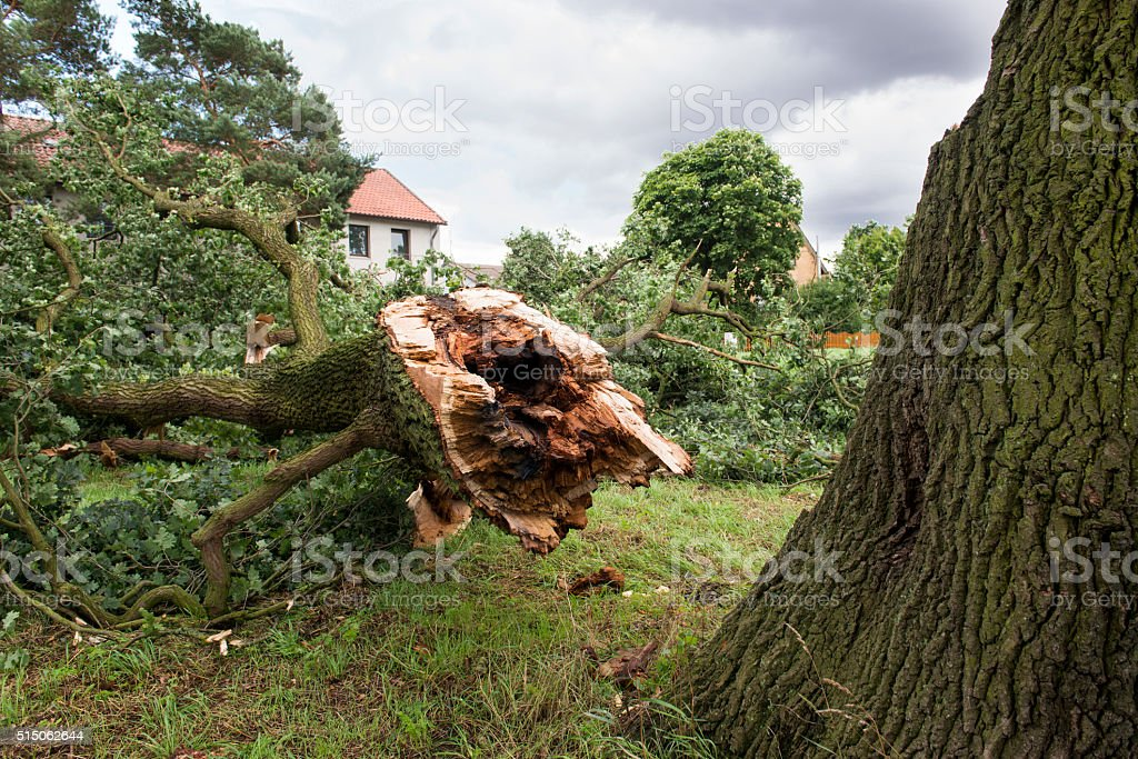 Storm damage - German Oak stock photo