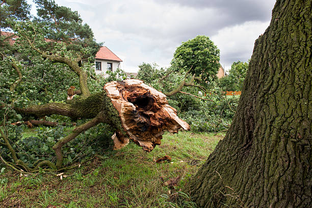 Storm damage - German Oak Storm damage - German Oak fallen tree stock pictures, royalty-free photos & images