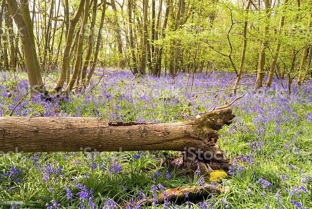 Storm damaged tree and bluebells.  uk. royalty-free stock photo