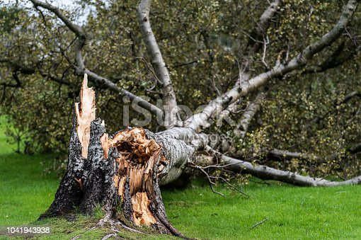A damaged tree in a Scottish public park after extreme wind brought it down