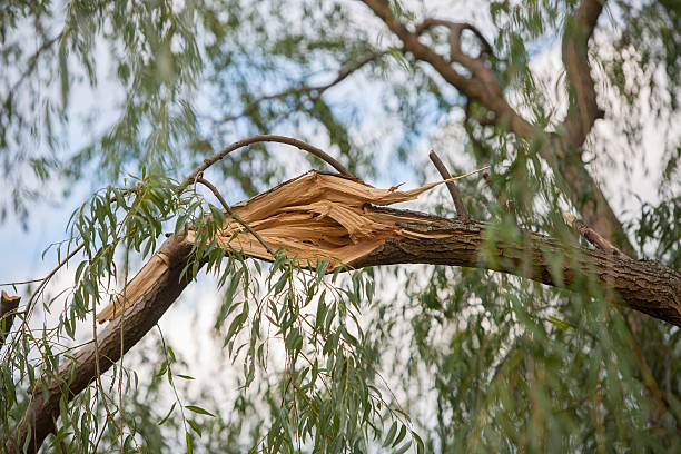 storm damaged willow tree branch stock photo